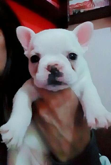 Unico <strong>bulldog</strong> Frances Disponible 45 Dias