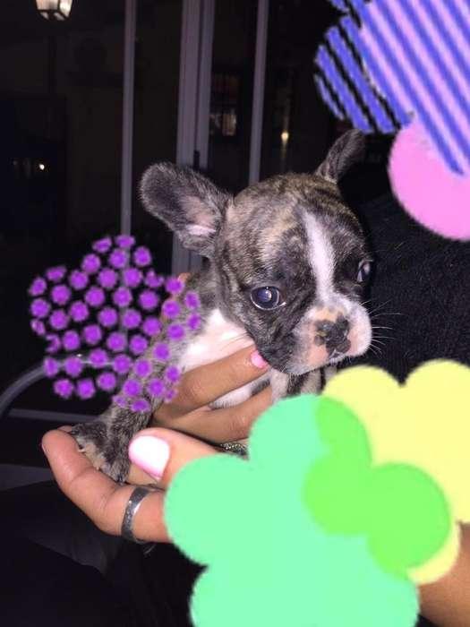 Bulldog Frances en Moreno