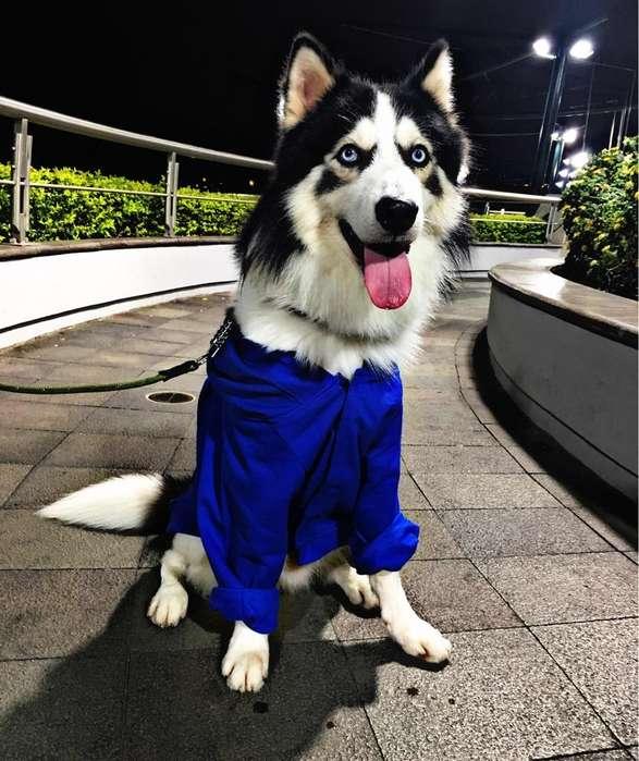 Husky Siberiano Listo para Montar 2 años