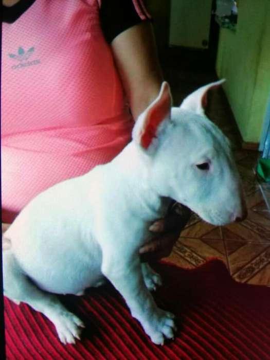 Vend Bull Terrier Información 0996481965