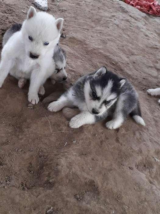<strong>cachorro</strong>s Lobos de Venta