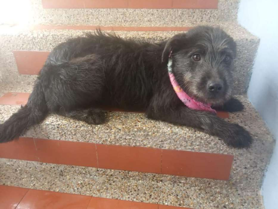Perrita Terrier Snauzer en Adopcion