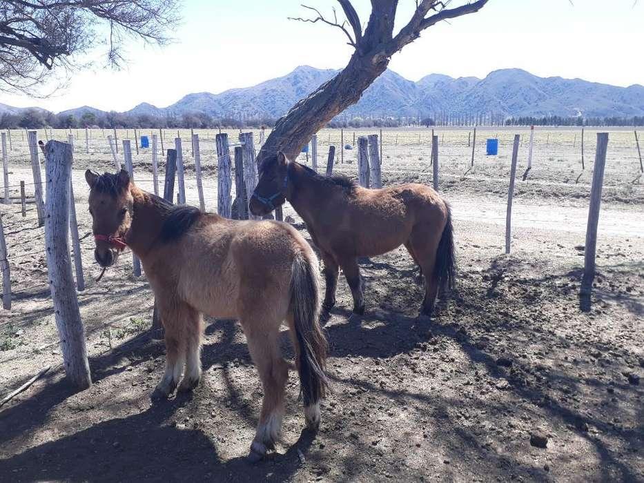 Vendo Ponys