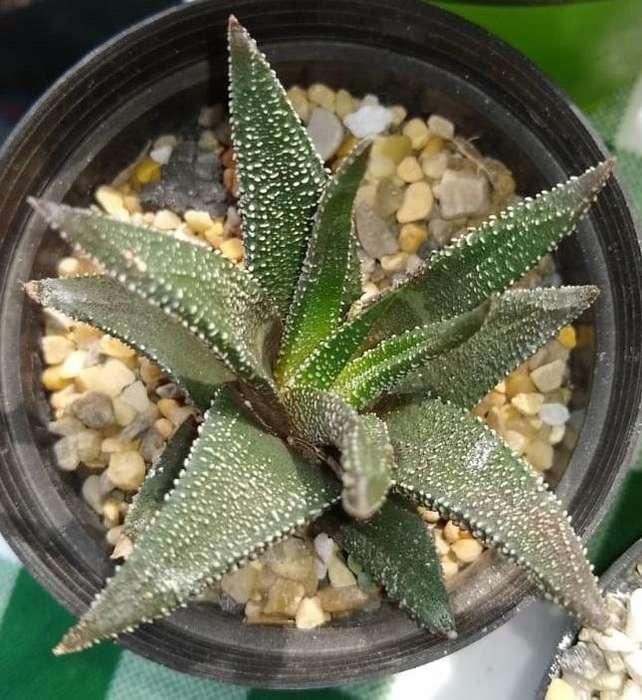 Haworthiopsis, haworthia, aloes suculenta cactus plantas