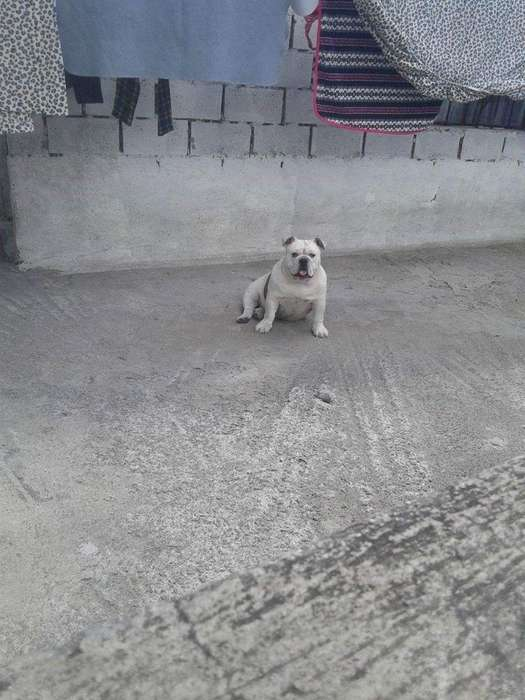 Bulldog Ingles Adulta