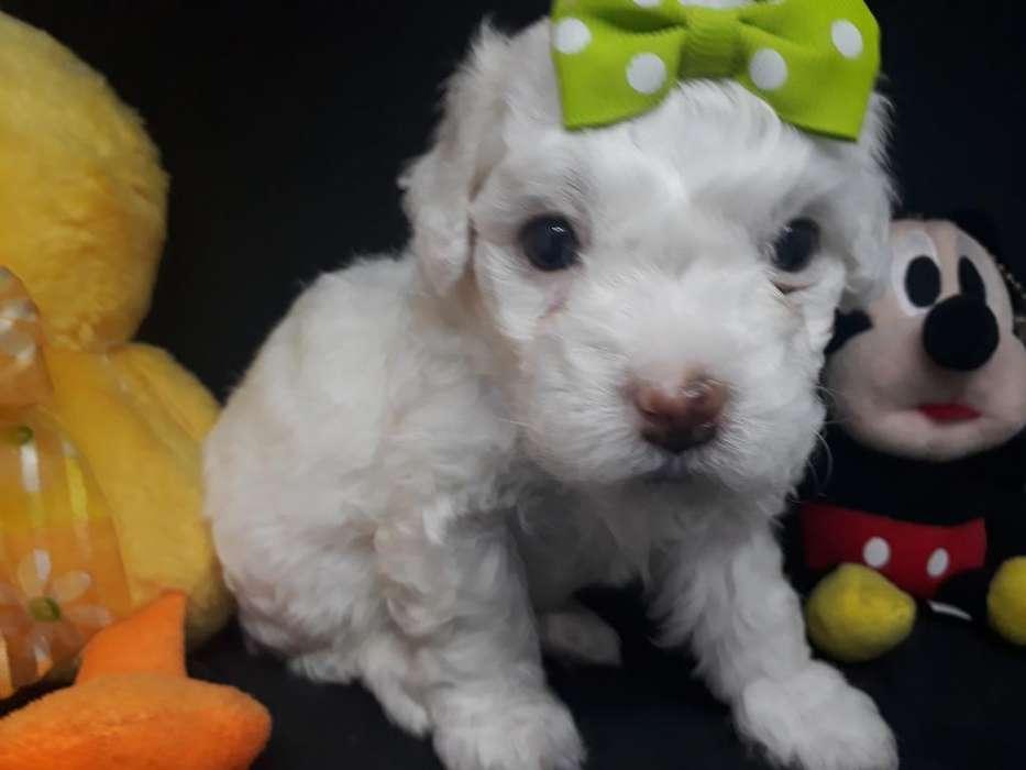 Mini Toy O French Poodle