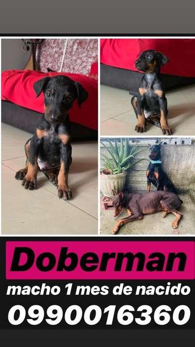 Doberman Grande
