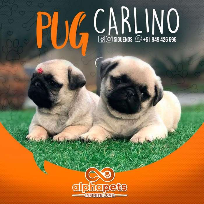 CACHORROS PUG CARLINO- GOLDEN RETRIEVER- PASTOR ALEMÁN- BEAGLE -LABRADOR RETRIEVER- JACK RUSELL- <strong>pitbull</strong>- A1