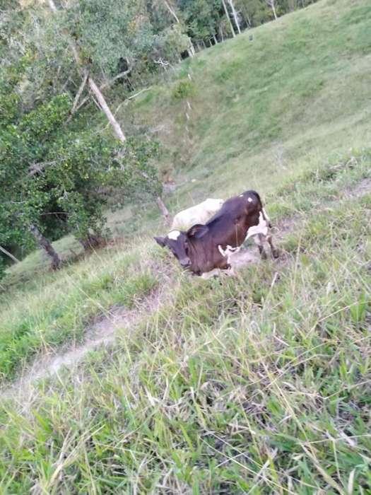 Vendo Hermosas <strong>vaca</strong>s Lecheras Y con Cria