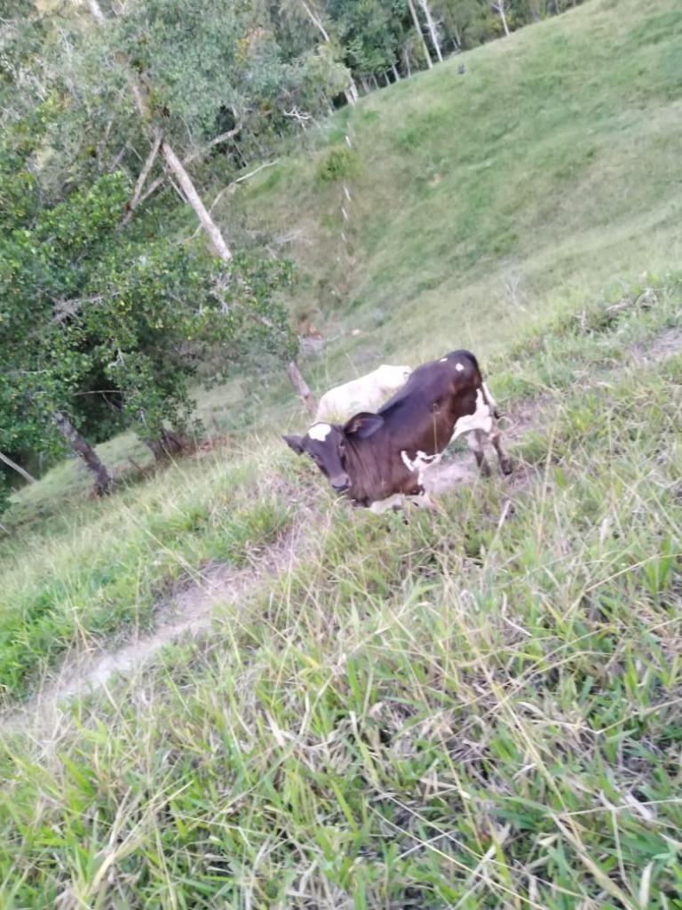 Vendo Hermosas Vacas Lecheras Y con Cria