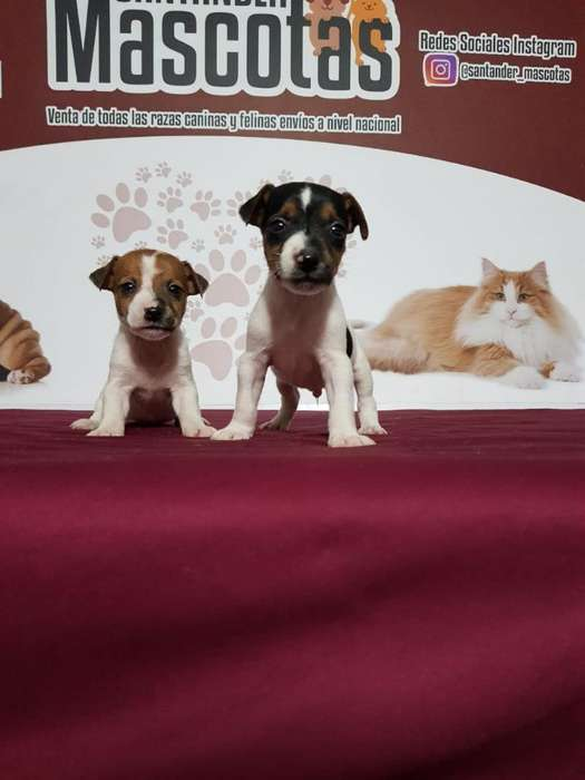 Jack Russell <strong>terrier</strong> Vacunados Hermosos
