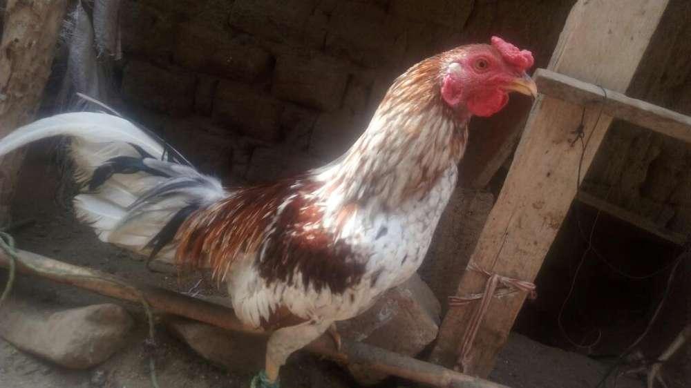<strong>pollos</strong> Asilados 150