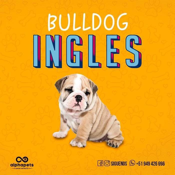 BULLDOG INGLES <strong>cachorro</strong>S DE LAS MEJORES LINEAS EXTRAORDINARIOS PEDIGREE