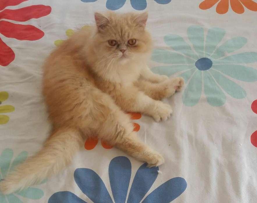 Gato Persa Disponible para Monta