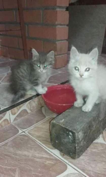 Lindos <strong>gatitos</strong> en Adopción