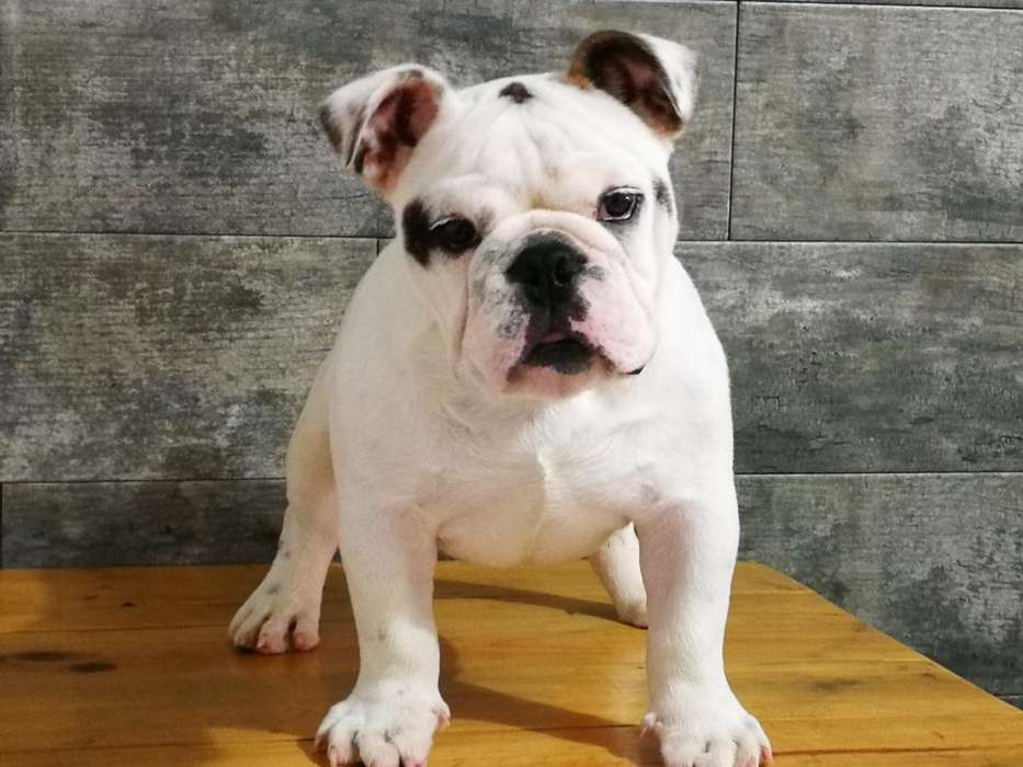 Bulldog Ingles Macho Excelente