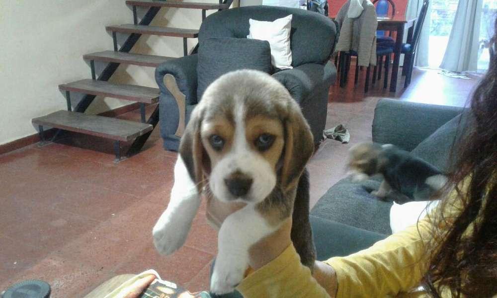 Perito Beagle 40 Días