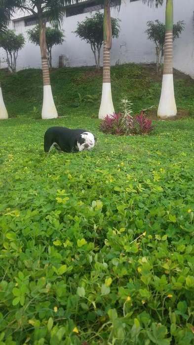 Bulldog Ingles Blacktree para Montas