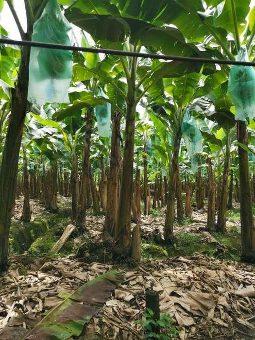 Bananera en Venta 52 Hectareas Tenguel Guayas