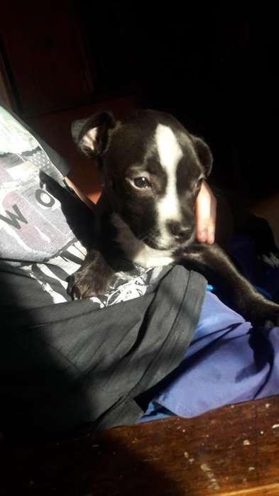 Cachorrita Pitbull