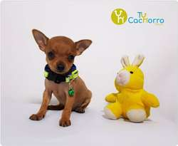 Pinscher Pincher somos ese pequeño cachorro adorable TU CACHORRO TIENDA