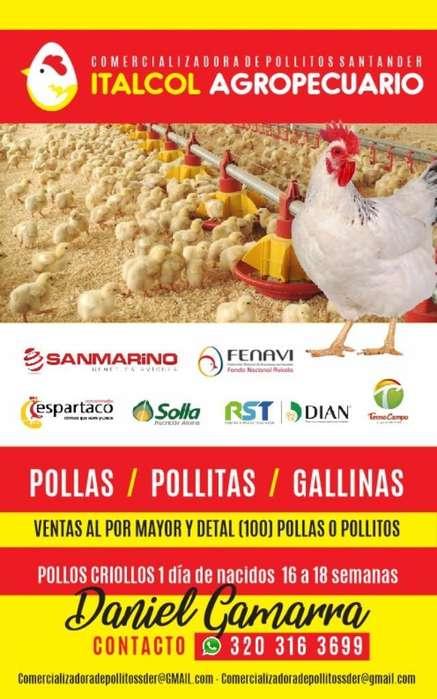 Pollo Estrellita