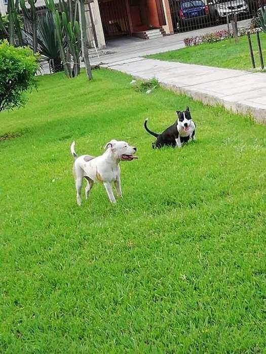 Cachorritos Pitbull