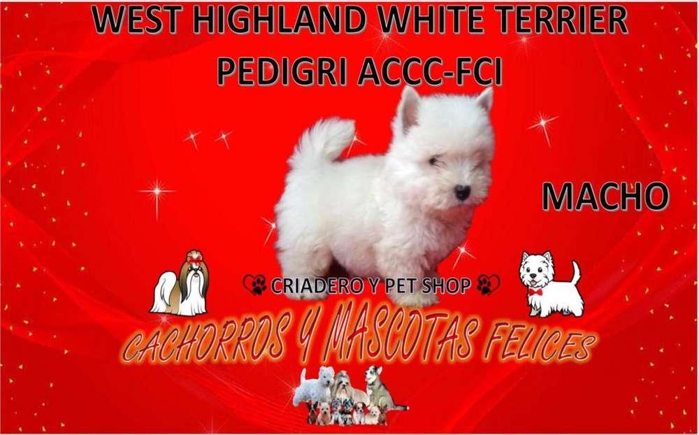 CRIADERO VENDE CACHORRO West Highland White Terrier <strong>pedigri</strong> ACCC-FCI VENDO westy, PARA TODO EL PAIS.