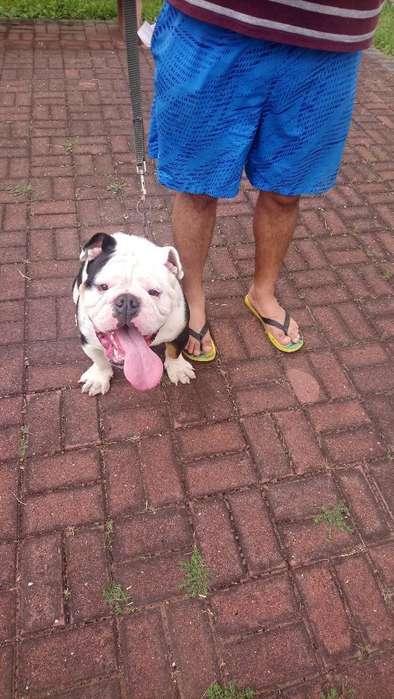 Bulldog Ingles para Inseminación