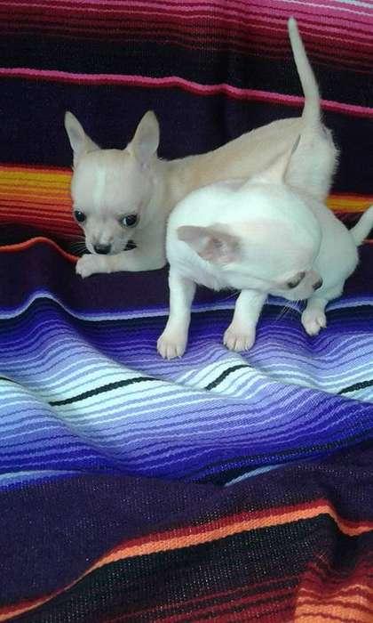 Chihuahua minitoy cachorros