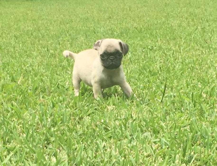 Vendo Hermoso Perrito Pug
