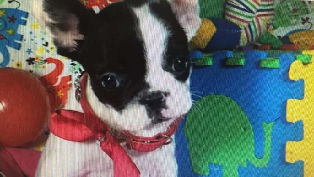 Cachorros Bulldog Frances A-1 pedigree 100%