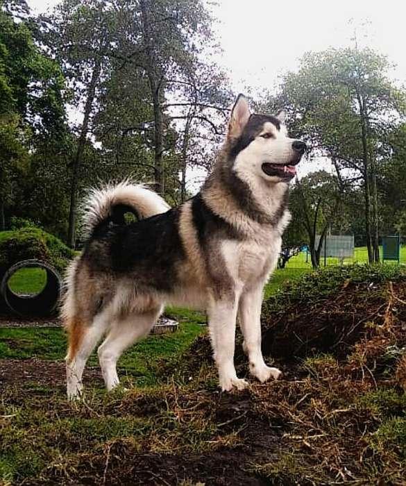 Lobo Busca Novia - <strong>perro</strong> Alaska