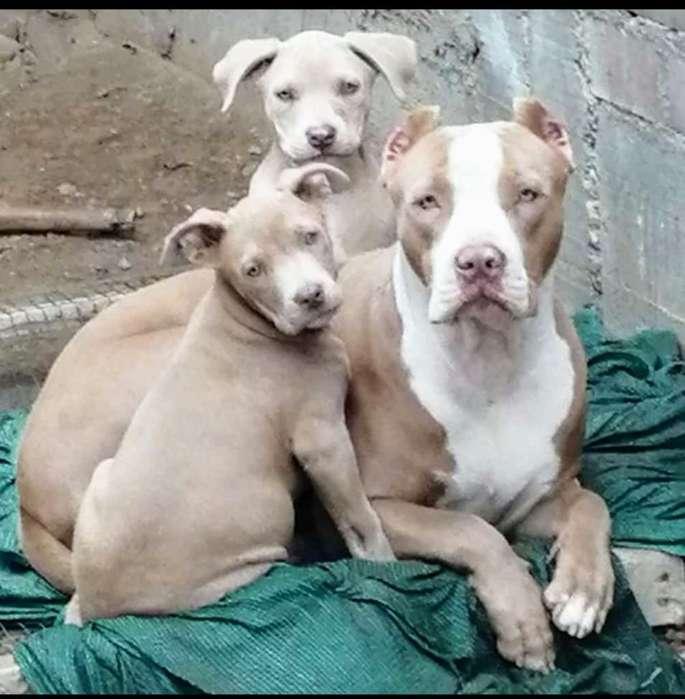 Cachorra American Pitbull Silver Fawn