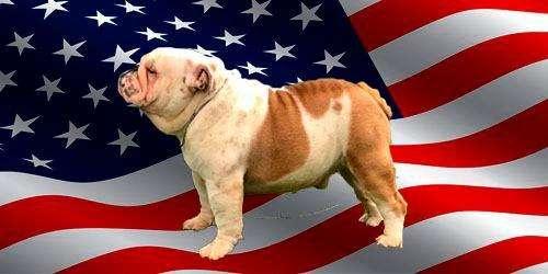 Bulldog Ingles Servicio de Monta y Cachorros Disponibles
