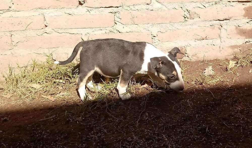 Ultimas Bull Terrier con ( Fca)
