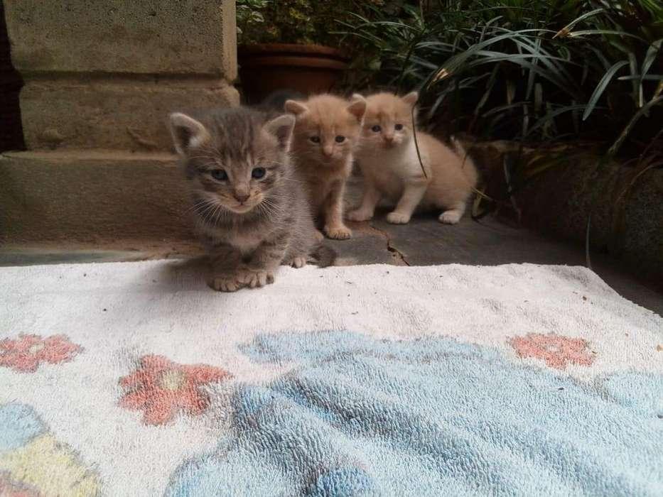 REGALO <strong>gatito</strong>S MUY DOMÉSTICOS, nacieron el 6 de octubre/19