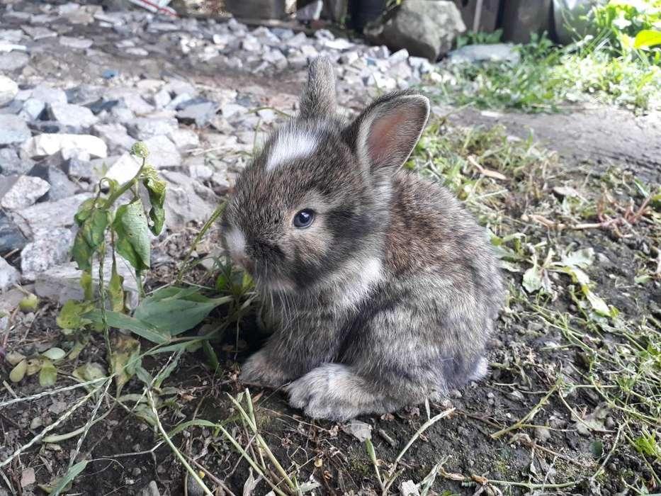 Conejos Mascota
