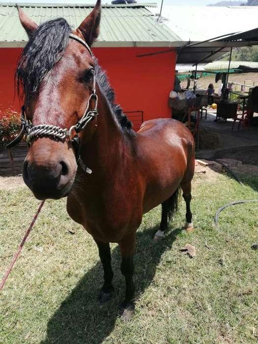 Se Vende <strong>caballo</strong> Galopero con Registro