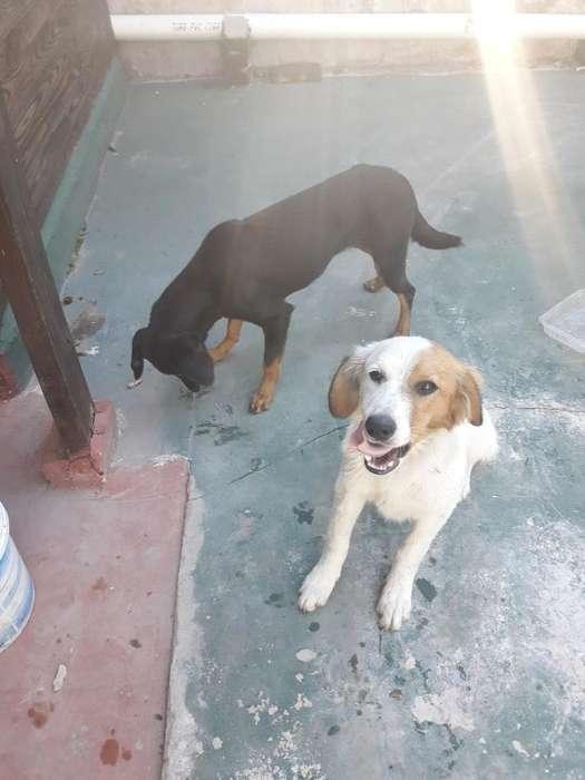 Doy en Adopcion Estos 2 Lindos Perritos