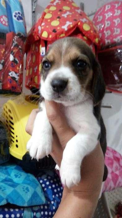 Cachorritos Beagle Minis