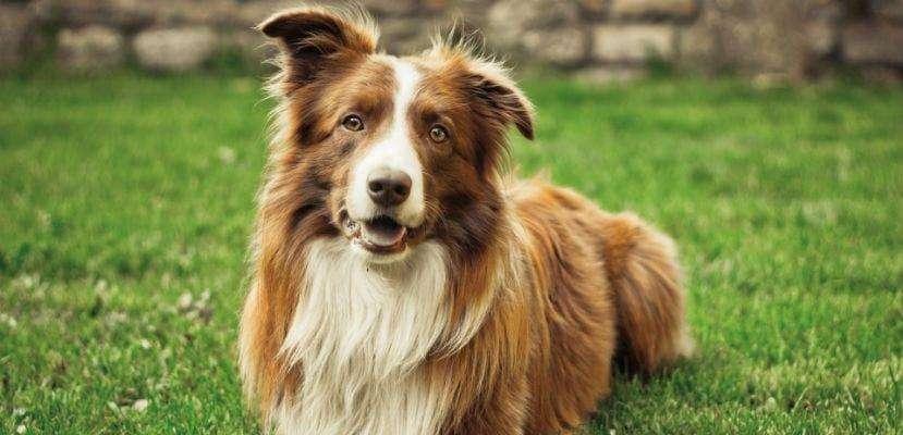 venta perros <strong>cachorro</strong>s border coller y border coller blue