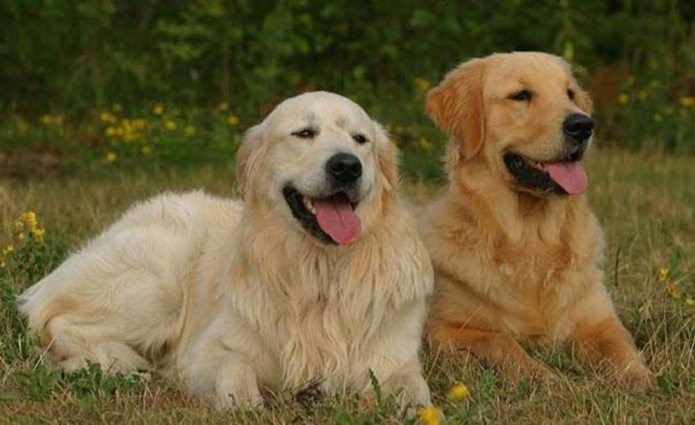 Cachorros Golden Retriever a Venta