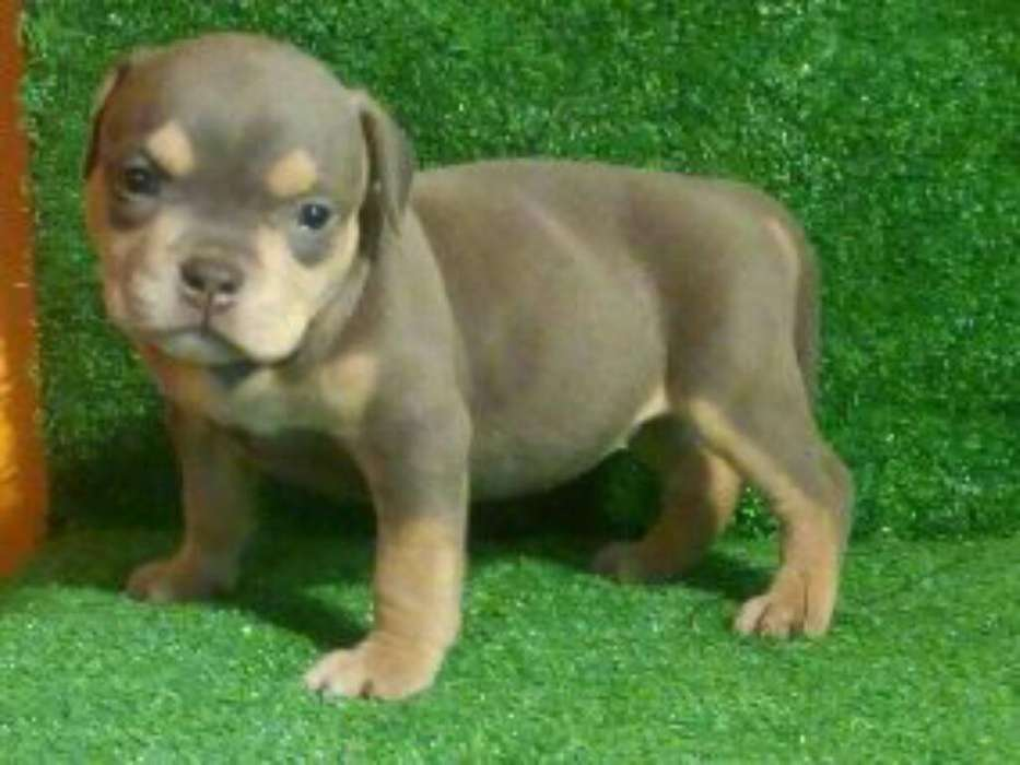 American Bully Tricolor Hembra
