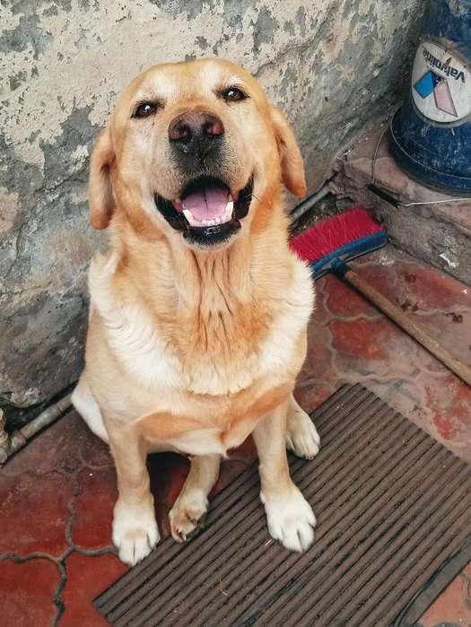 Cachorros Labrador Color Hueso