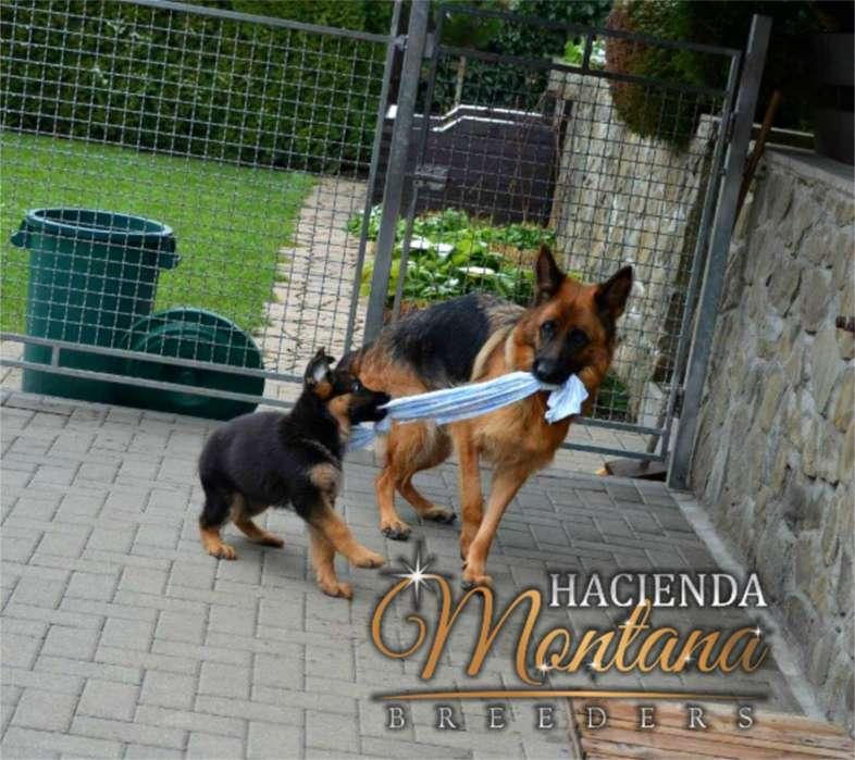 VENTA DE <strong>cachorro</strong>S PASTOR ALEMAN EN TUNJA