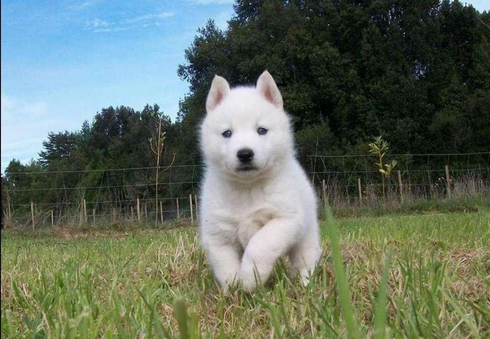 Cachorros husky siberiano blancos