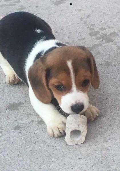 Hermoso Beagle Tricolor