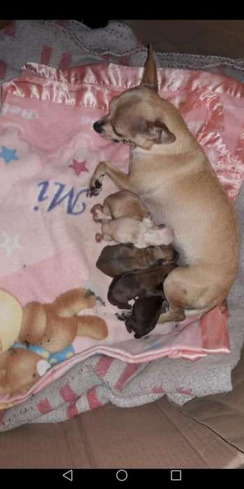 Chihuahuas Cachorrito a La Venta 800