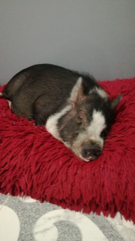 se vende linda mini pig